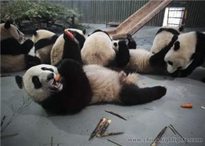 Panda's Lunch Time