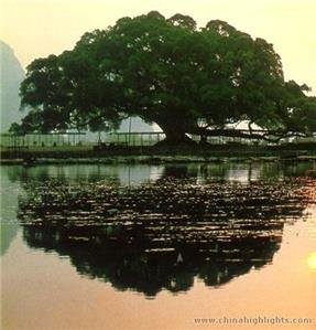 /Yangshuo big banyan tree