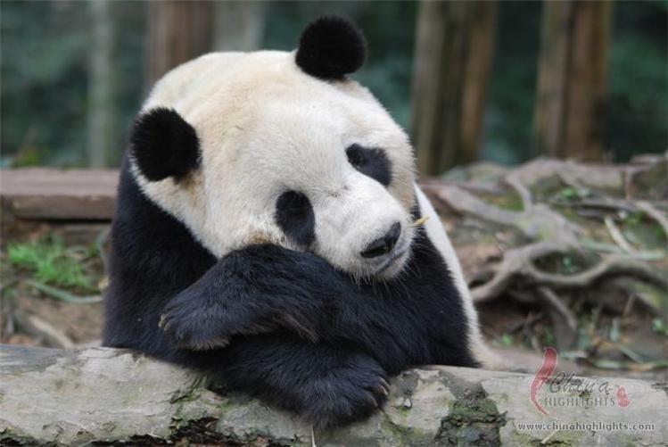Interesting Extraordinary Panda Facts