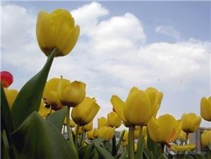 Shixiang Lake Tulip Festival