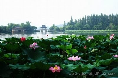 Lotus Flowers in the West Lake